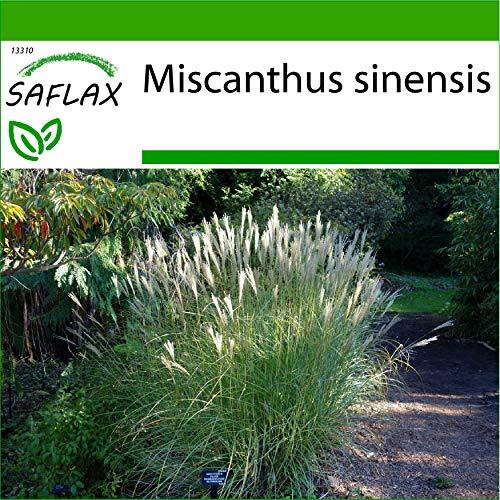 SAFLAX - Roseau de Chine - 200 graines - Avec substrat - Miscanthus sinensis