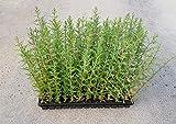 Pack 100Unds Cipres planta Sempervirens 30-50cm (Para seto)