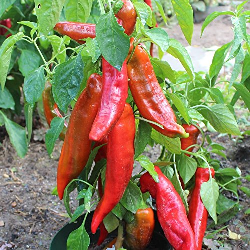 Samen für ca. 15 Pflanzen Corno di Toro rosso Paprika – italienische Sorte, ertragreich