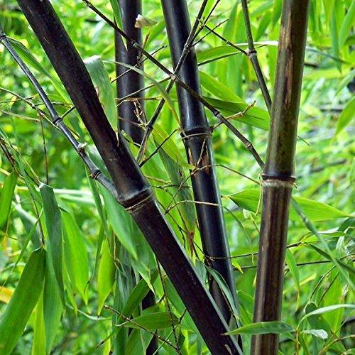 60 graines / sac rares SEEDS BLACK BAMBOO - Phyllostachys Nigra Dendrocalamus asper Betung Hitam - Black culmed graines de bambou bruts