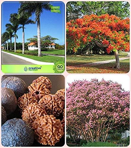. für All Season Bottle Palm, Gulmohar, Elaeocarpus Ganitrus, Königin Kreppmyrte Combo für Hausgarten Zierpalme & Flowering Tree & Sacred Baum & Blume