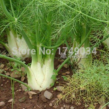 Le taux de germination de 99% de graines d'aneth, graines de plantes aromatiques Fenouil, semences de plantation facile - 50 particules