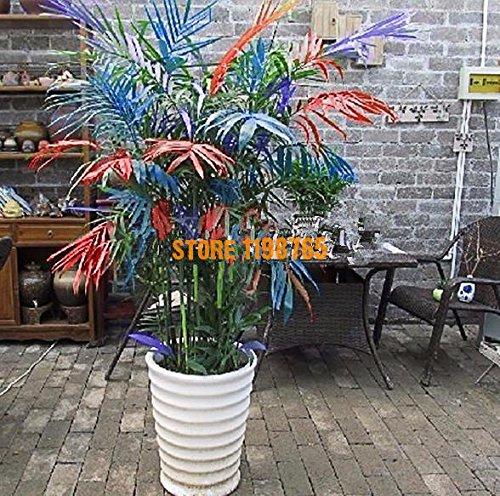 100pcs / bag Novel Couleur Bambou Arbre, Graines New Plante en pot à l'intérieur Maison Jardin Ferme.