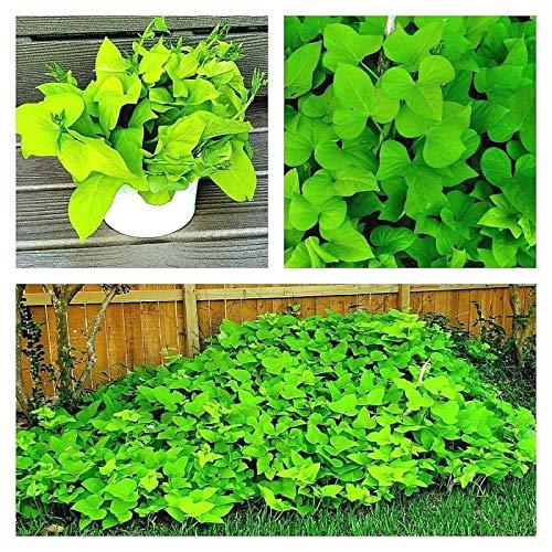 10 Sweet Potato V.ine Plants, Fresh C.uttings, Non GMO