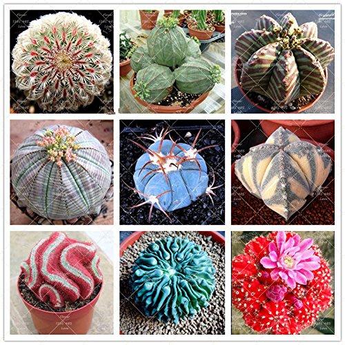 100 pc/sacchetto vero e proprio mini semi del cactus, impianto al coperto per la casa garden.Super rare piante grasse erbacea perenne, fiore bonsai pentola vedere