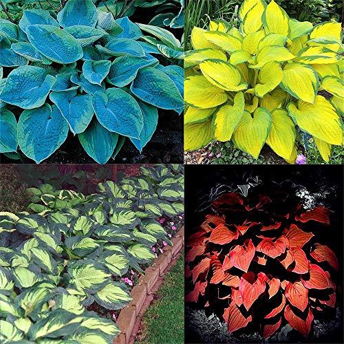 Funkien pflanze winterhart,Starke Straßendekoration, ausgezeichnete Bodendeckerpflanzen, 4 verschiedene Sorten, zufällig verschickt-5Rhizome