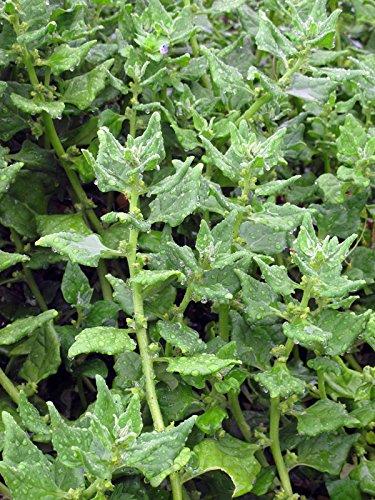 Neuseeländer Spinat (Tetragonia tetragonioides) 20 Samen Kokihi