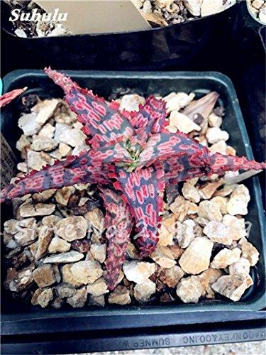 50 Pcs Aloe Vera Graines Beauté comestibles cosmétiques colorés Bonsai Cactus Succulentes Plantes Fleurs Légumes Fruits Graines Pour Balcon 16