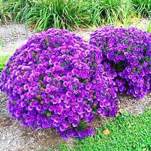 Cioler 100pcs Chrysantheme Samen Bodendecker Winterhart Mehrjährig Bonsai Pflanzensamen Blumensamen