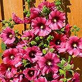Keland Garten - 10pcs Raritäten Regenbogen-Stockrose, Blumensamen Mischung winterhart mehrjährig, Ideal auch als Kübelpflanze auf Terrasse & Balkon