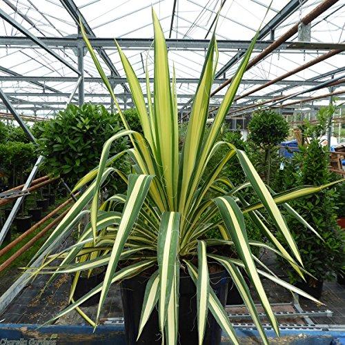 Adam's Needle Aka Yucca FIL. 'Color Guard' Live Plant Fit 1 Gallon Pot
