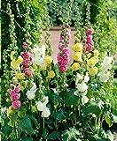 Soteer Seed House - Rose trémière 'Mélange' Assortiment de graines de fleurs vivaces Assortiment de roses trémières trémières (100pcs)