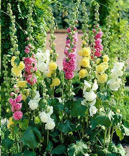 Soteer Garten - Stockrosen 'Mischung' Blumensamen Stauden-Sortiment Gefüllte Stockrosen Samen Blumenstauden mehrjährig winterhart In 5 verschiendenen Farben