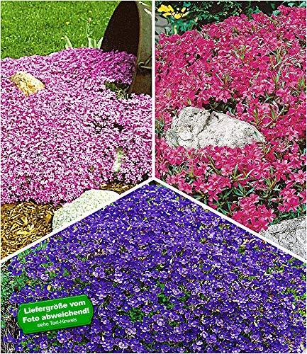 BALDUR-Garten Bodendeckende Polsterstauden-Kollektion, 9 Pflanzen 3 Pflanzen Teppichphlox Emerald Pink, 3 Pflanzen Roter Teppichphlox und 3 Pflanzen Blaukissen Cascade Blue