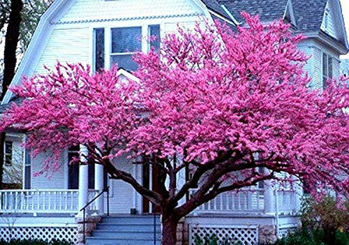 "PAPCOOL Pink Dogwood Tree- 2 Year Old, 10-18"" Tall -Gorgeous Rose Pink Flowers Perennial Tree"