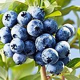 Rosepoem Árbol del arándano de semillas Semillas orgánico fresco 50Pcs Inicio exótico