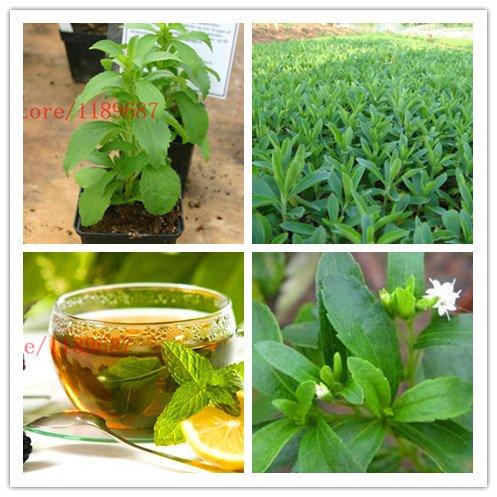 ChinaMarket 500 nouvelles graines de stévia, Stevia herbes graines vertes herbes, Stevia pour la plantation de jardin