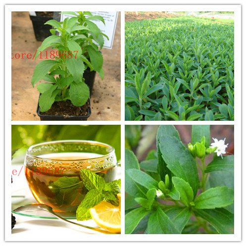 ChinaMarket 500 nuevas semillas de stevia, Stevia Semillas Hierbas hierba, Stevia para el jardín de plantación