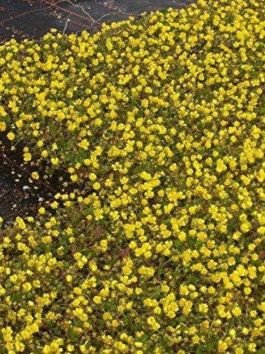 Potentilla neumanniana - Fingerkraut, 6 Pflanzen im 5/6 cm Topf