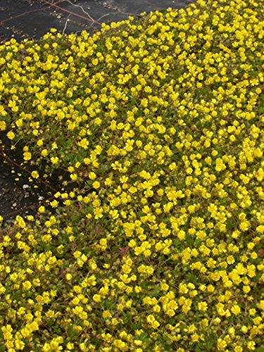 Potentilla neumanniana - Fingerkraut, 15 Pflanzen im 7/6 cm Topf
