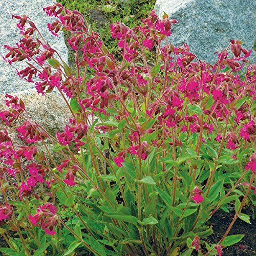 Compagnon Rouge - Silene dioica - 500 Graines