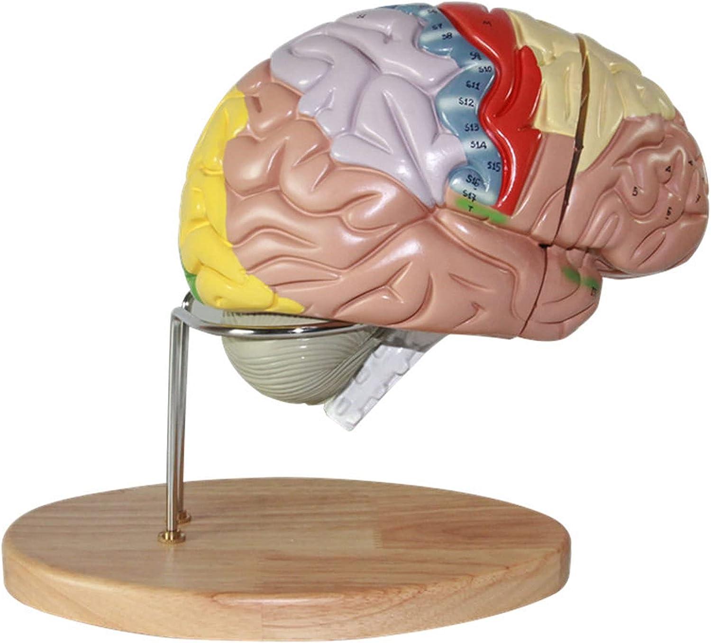NYSJLONG Human Brain Model Philadelphia Mall Now on sale Neurosc Teaching Anatomical for