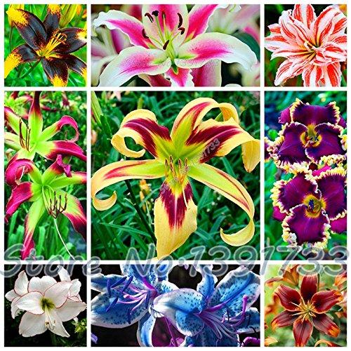 100 Stück Pflanzen Lilie Indoor-Bonsai Calla-Lilien-Samen schönen Garten Lilie Blumensamen