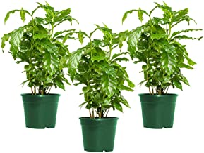 AMERICAN PLANT EXCHANGE Arabica Coffee Indoor/Outdoor Air Purifier Live Plant, Three 4