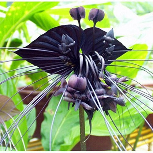 Schwarz Tiger Orchidee Blumen Samen Rare Orchidee Samen für Garden & Home Pflanzen