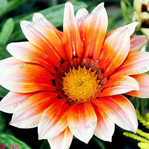 100pcs / sac Rare Fleurs graines Gazania rigens Graines Accueil Balcon Jardin Bonsai d'ornement Splendens Chrysanthème 4