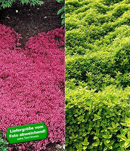 BALDUR-Garten Bodendecker Thymian-Kollektion 6 Pflanzen Rot und grün winterhart Polsterthymian Thymian Pflanzen