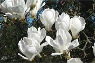 5 Seeds Yulan Magnolia Denudata Tree Seeds TS2