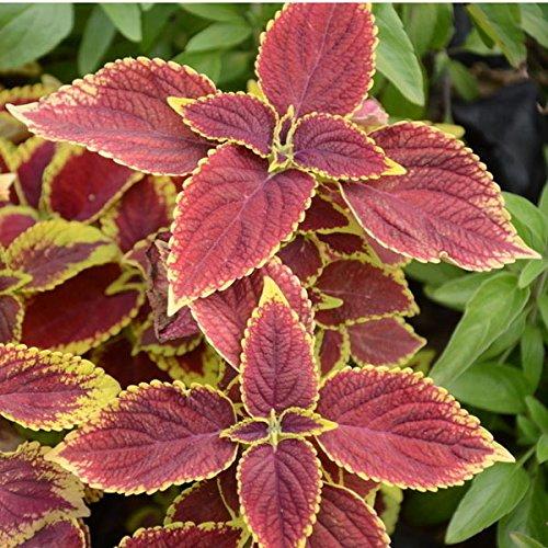 Vente chaude de coleus graden commune, en plein air en pot graines de parterre bonsaï de plantes à fleurs, Original graines de paquet environ 100 particules