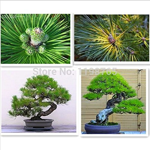 50 Piece Cinq Leaved-Pine Tree Seeds Potted Paysage japonais Cinq Needle Pine Bonsai Miniascape Seeds 49%