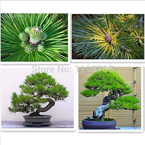 50 Piece Cinq Leaved-Pine Tree Seeds Potted Paysage japonais Cinq Needle Pine Bonsai Miniascape Seeds 49%