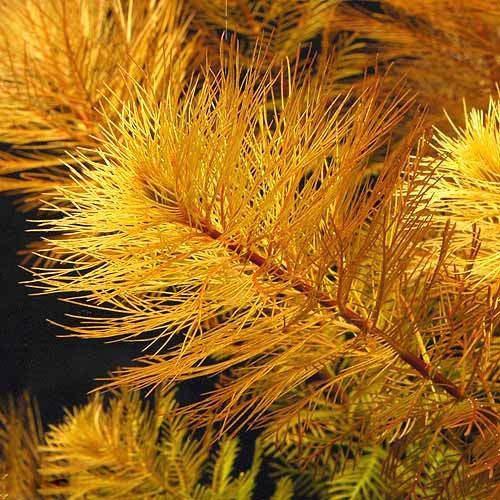 (水草)ミリオフィラムsp.オレンジ ローライマ産(無農薬)(6本)