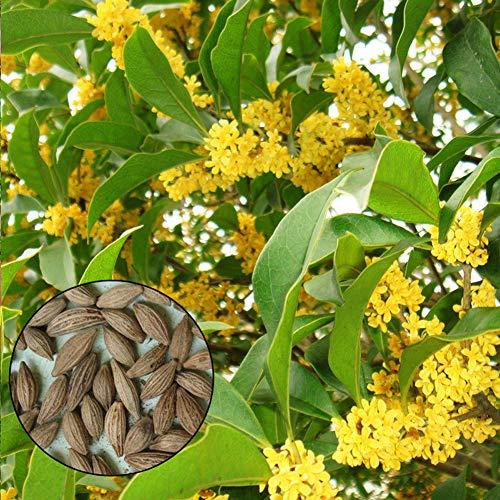 Süße Olivenpflanzen Samen 10 Stück Bio-Osmanthus-Blüten-Kräuterpflanzen Frischer Duft Premium-Samen zum Pflanzen von Garden Yard Decor Pot