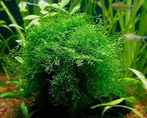 Java Moss Portion in 4 Oz Cup - Easy Live Fresh Water Aquarium Plants