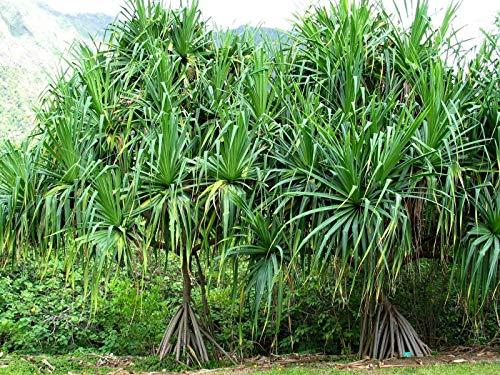 Bio-Saatgut nur Nicht Pflanzen: 12 Samen tectorius, Tahitian screwpine, Reet screwpine, ha, by FÄHRE