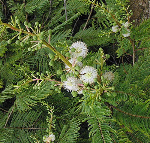 SANHOC Acacia angustissima Prairie Akazien-Samen!