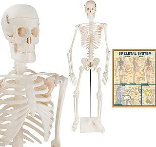 The Anatomy Models Mini Human Skeleton – Human Body Model ½ Life-Size Skeleton Model + Metal Stand + BONUS Human Anatomy Poster, 33.5 Inches Tall