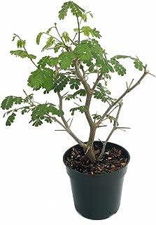 Brazilian Rain Tree - Pithecellobium - Predicts The Weather/Easy to Grow -4