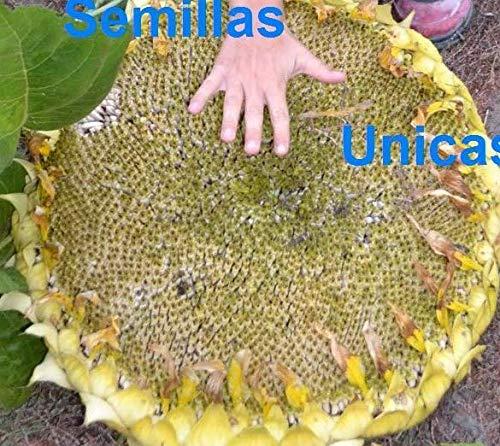 Portal Cool Riesige Sonnenblume für Speise Pipas 50 Samen Sonnenblumensamen Riesen