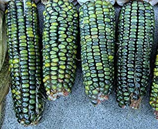 Vegetable Seeds - 50+ Seeds of Oaxacan Green Corn Seeds All Shades of Green Vegetable Garden Organic