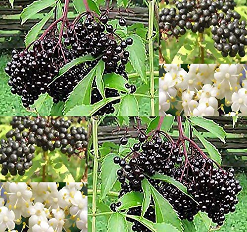 Big Pack - (1,000) American Elderberry Seeds - Sambucus Canadensis - Non-GMO Seeds by MySeeds.Co (Big Pack - Elderberry)