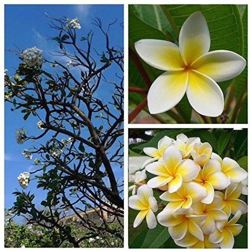 Ncient 20/50 Semillas de Plumeria Rubra Lei Fresh Semillas Flores Raras Plantas Bonsai Semillas Fragantes para Jardín Balcon Interior y Exteriores