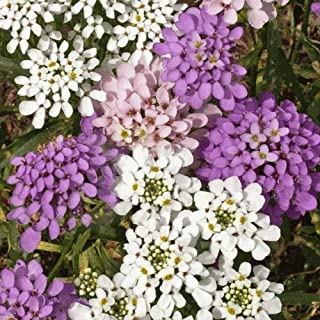 Flower Seeds - 500 Seeds of Globe Annual Candytuft Wildflower Seeds