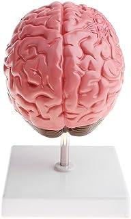 脳構造の動脈 脳出血、動脈瘤、動静脈奇形模型 人間脳疾患の病理モデル 1X 学習用 理解しやすい