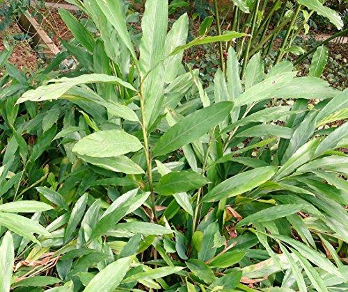 Grüner Kardamom Elettaria cardamomum Pflanze 5-10cm Malabar-Kardamom Zimt-Aroma