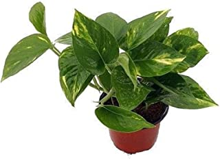 "Golden Devil's Ivy - Pothos - Epipremnum - 4"" Pot - Very Easy to Grow"